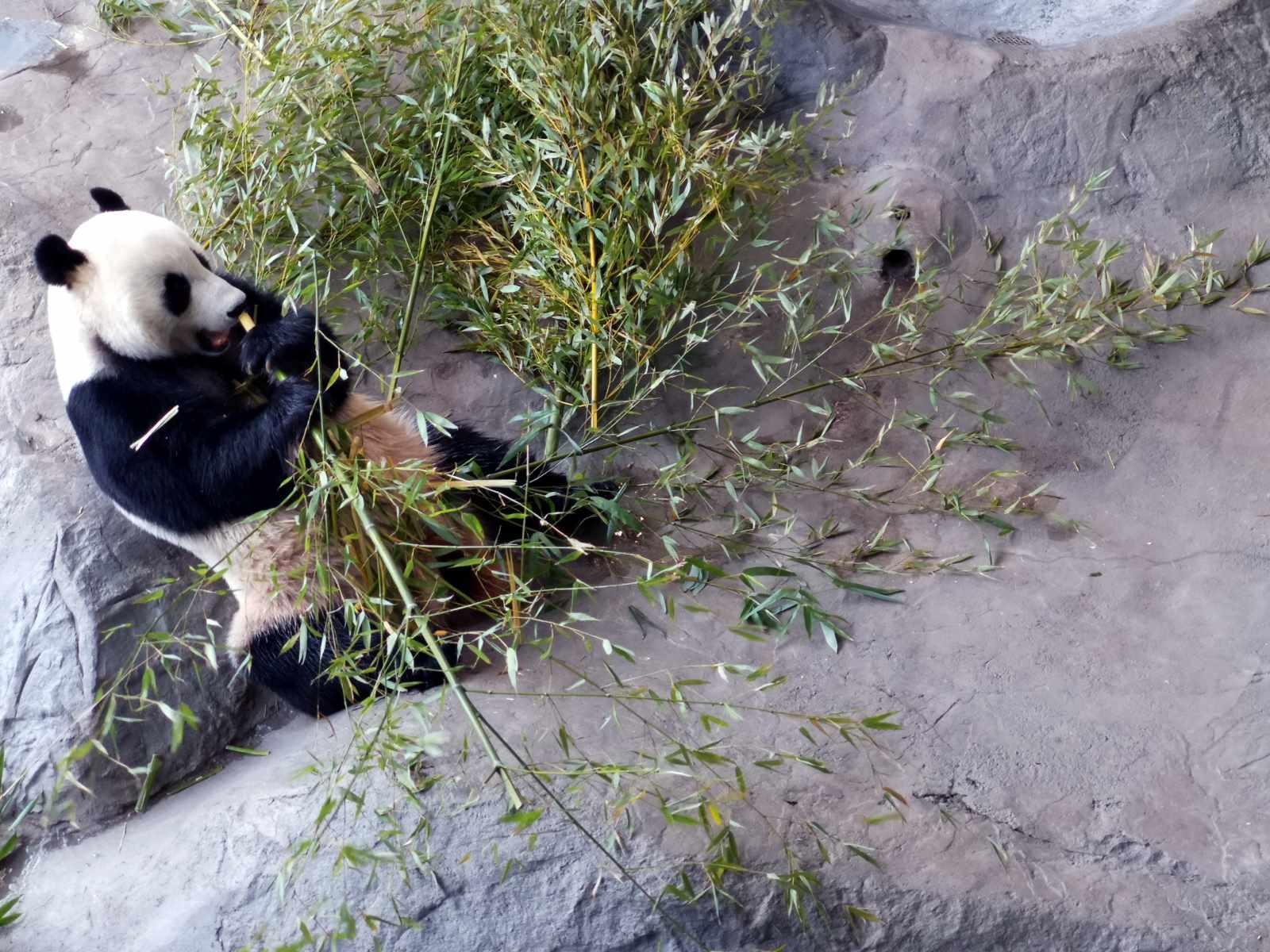 Panda syö bambua